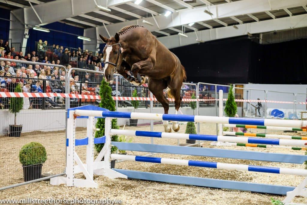 Liver chestnut stallion jumping